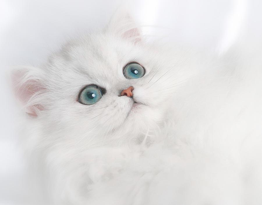 Cute White Persian Kitten Photograph By David And Carol Kelly