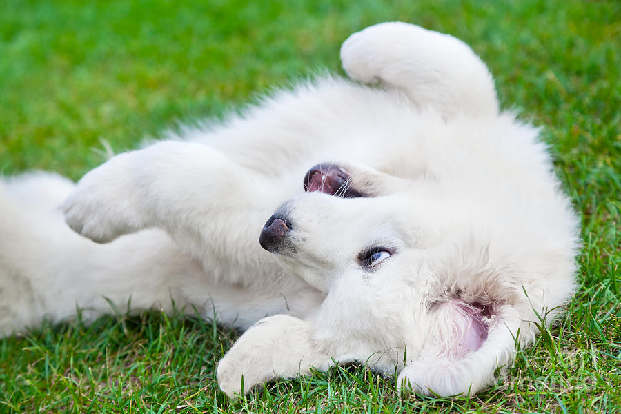 Puppy Photograph - Cute White Puppy Dog Playing On Grass by Michal Bednarek
