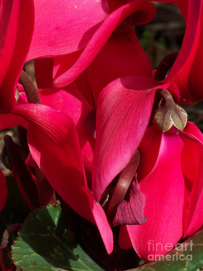 Flowers Photograph - Cyclamen by Kathy McClure