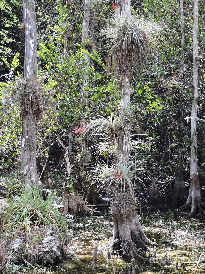 Cypress Photograph - Cypress Airplant Display by Marilee Noland