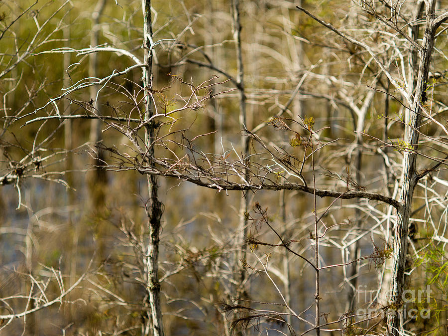 Branches Photograph - Cypress Branches by Tracy Knauer