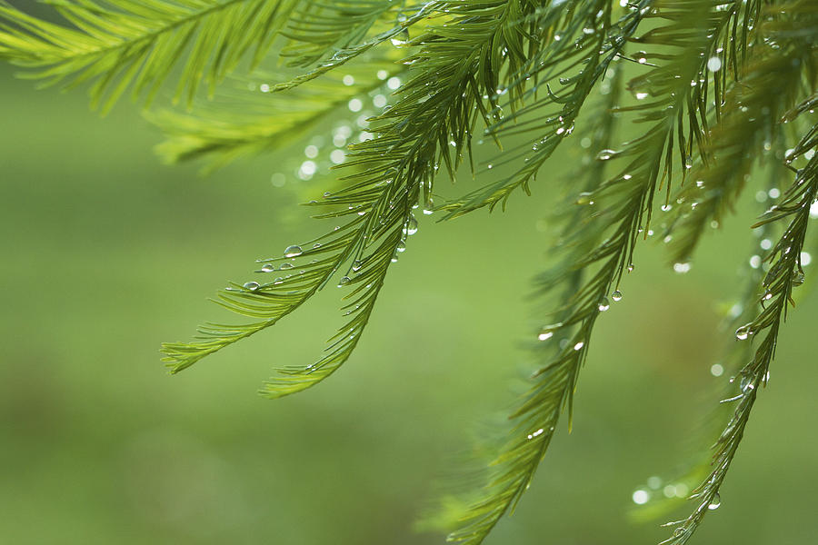 Bokeh Photograph - Cypress In The Mist - Art Print by Jane Eleanor Nicholas