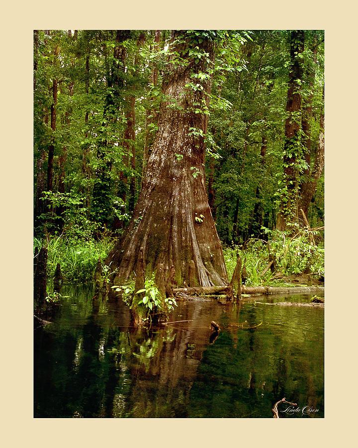 Country Photograph - Cypress Roots Ichetucknee by Linda Olsen