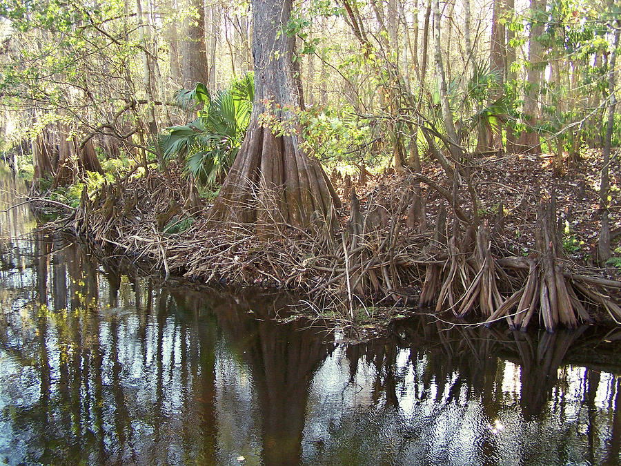 Nature Photograph - Cypress Swamp by Peg Urban