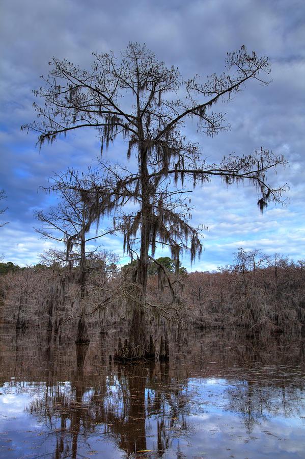 Cypress Tree Photograph