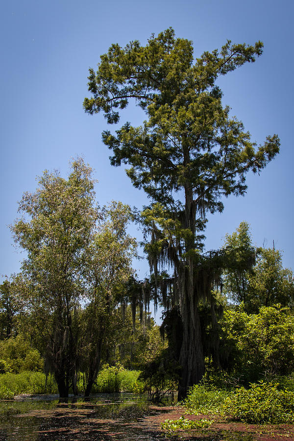 Cypress Tree With Moss Photograph by Gregory Daley  MPSA