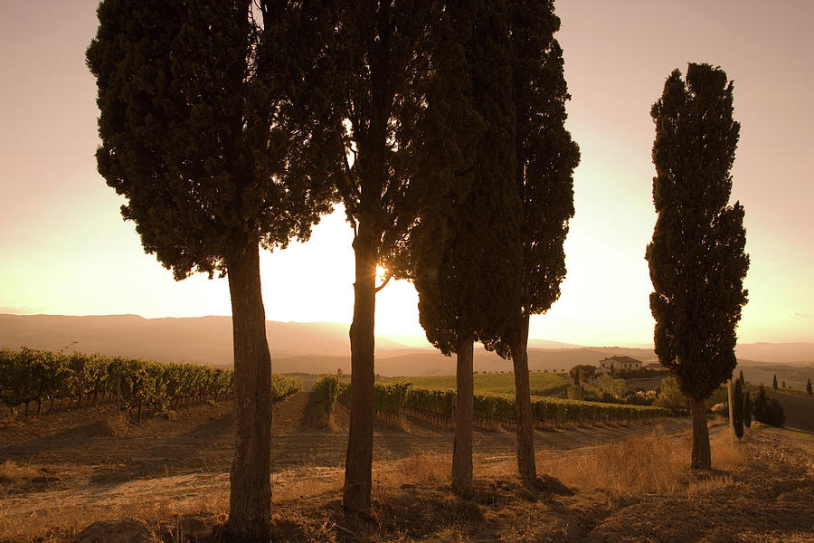 Cypress Trees And Grapevines, Tuscany Photograph by Walter Zerla
