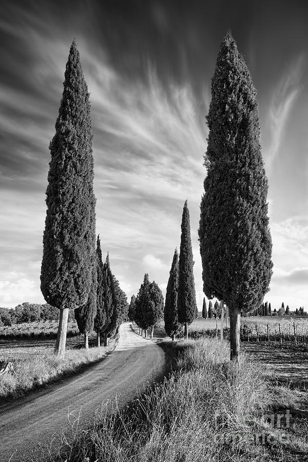 Cypress Trees Photograph - Cypress Trees - Tuscany by Rod McLean