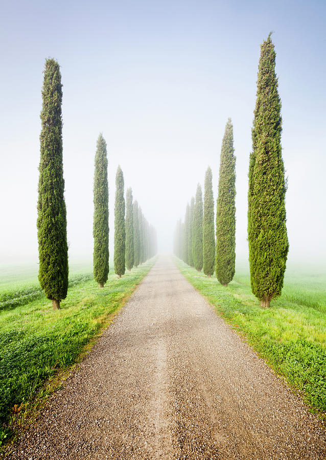 Cypresses In Morning Mist Photograph by Jorg Greuel