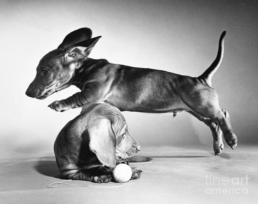 Animal Photograph - Dachshund Puppies Playing by ME Browning