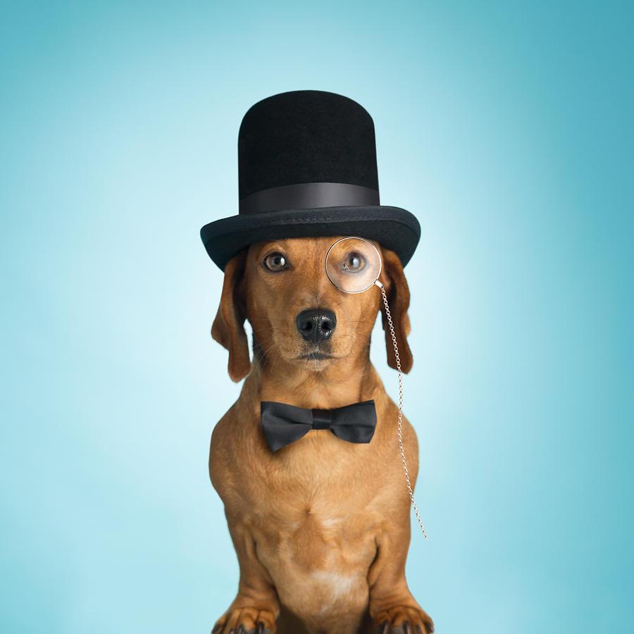 Dachshund wearing top hat and monacle Photograph by mrPliskin