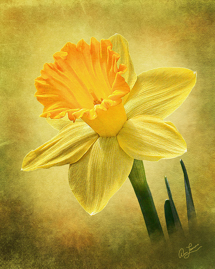 Daffodil by Ann Lauwers