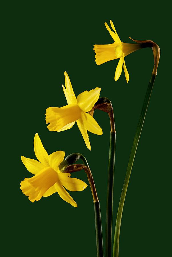 Macro Photograph - Daffodil Arrangment by Pete Hemington
