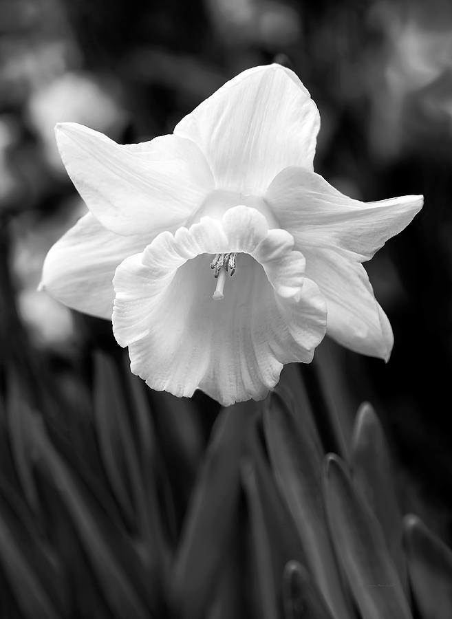 Daffodil Photograph - Daffodil Flower Black And White by Jennie Marie Schell