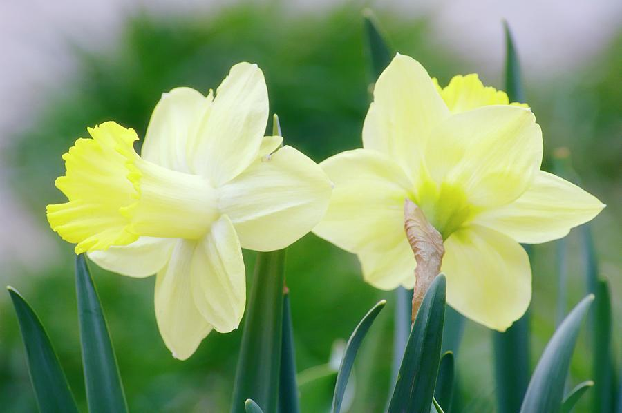 Daffodil Photograph - Daffodil Flowers (narcissus Sp.) by Maria Mosolova/science Photo Library