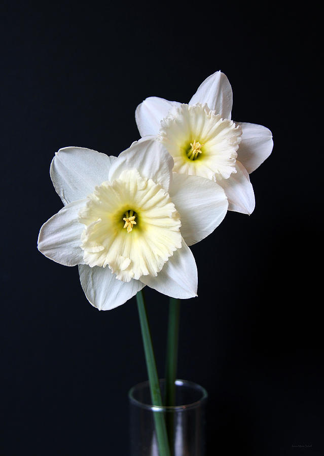 Daffodil Flowers Still Life Photograph By Jennie Marie Schell