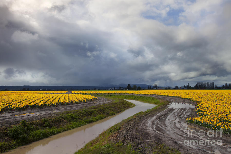 Daffodil Photograph - Daffodil Lane by Mike  Dawson