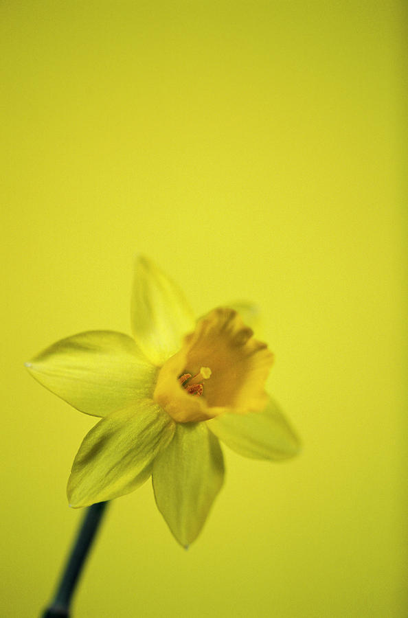 Daffodil Photograph - Daffodil by Leslie J Borg/science Photo Library