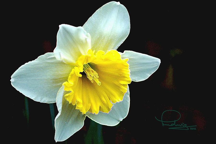 Daffodil by Ludwig Keck
