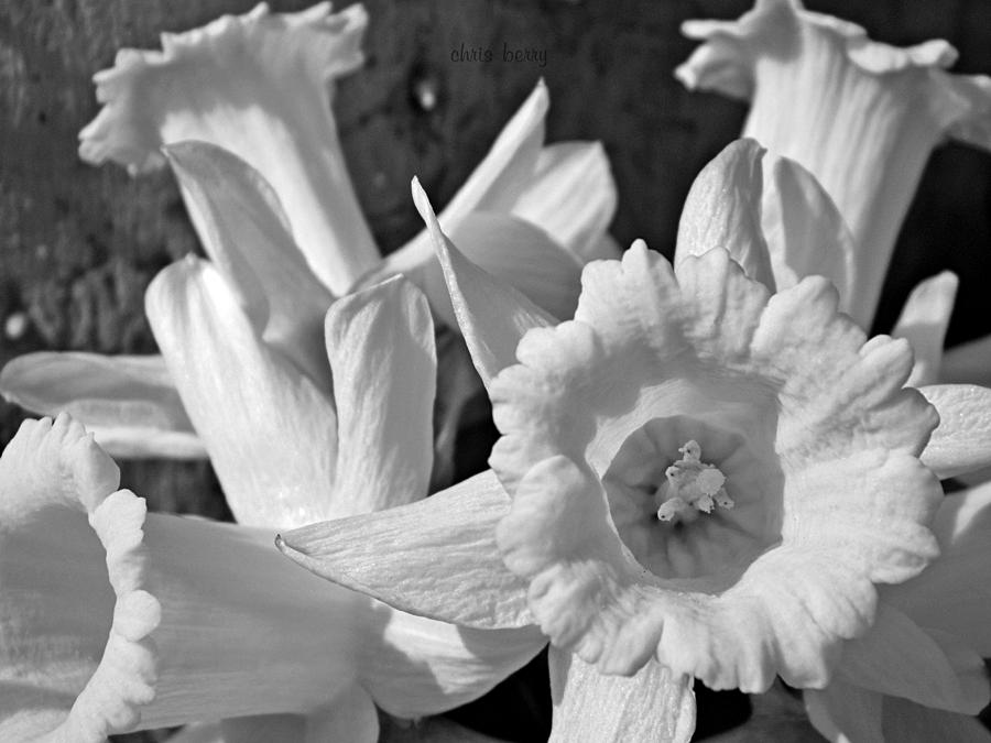 Narcissus Photograph - Daffodil Monochrome Study by Chris Berry