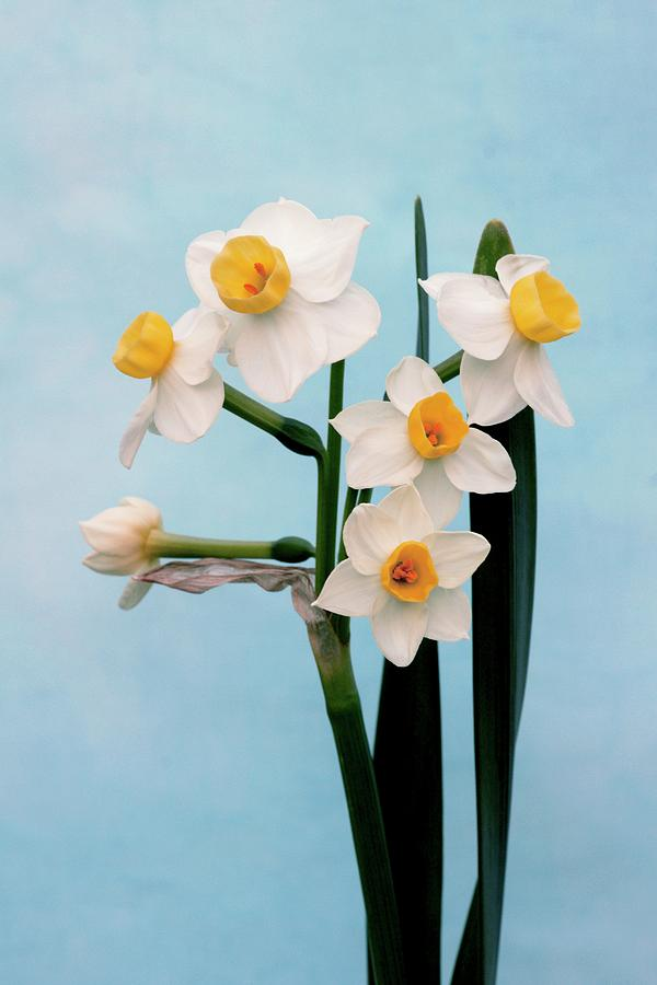Daffodils Photograph - Daffodil (narcissus avalanche) by Brian Gadsby/science Photo Library