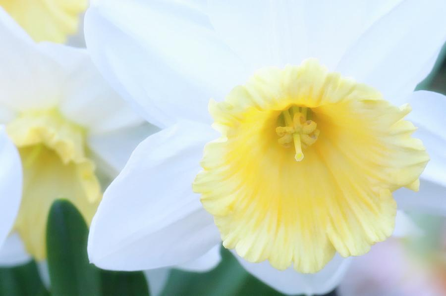 Daffodil Photograph - Daffodil (narcissus Sp.) by Maria Mosolova/science Photo Library