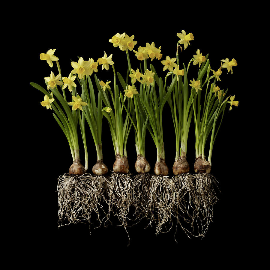 Daffodil Plants On Black Background Photograph by William Turner