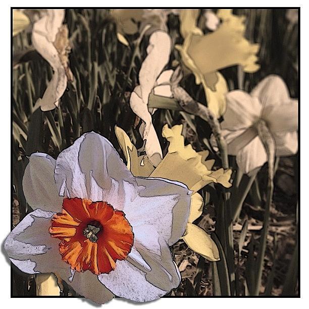 Daffodil Photograph - Daffodil Reinterpretation #daffodil by Jan Pan