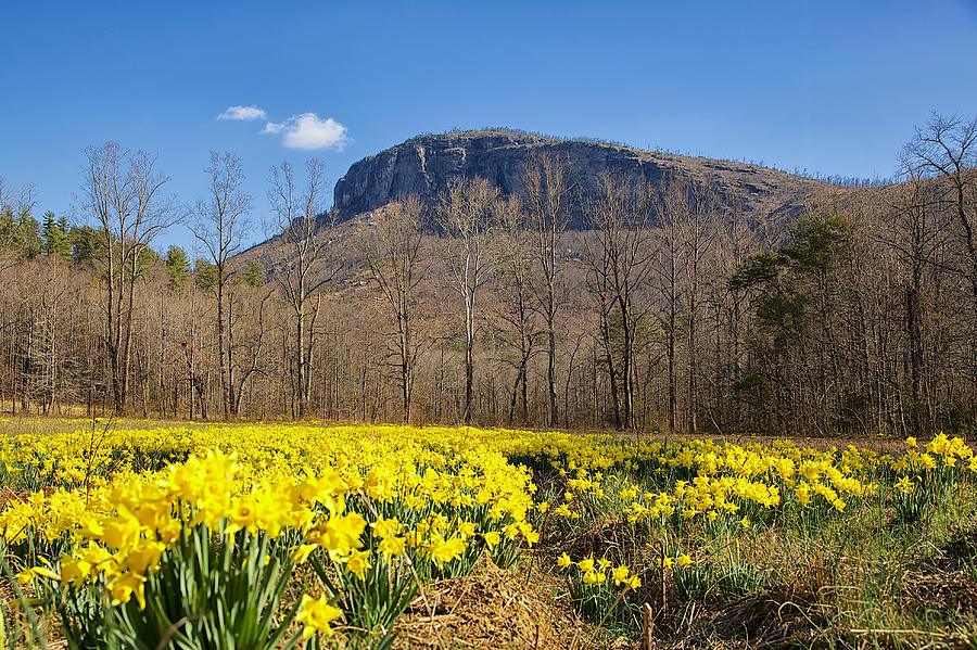 Daffodils and Shortoff by Mark Steven Houser