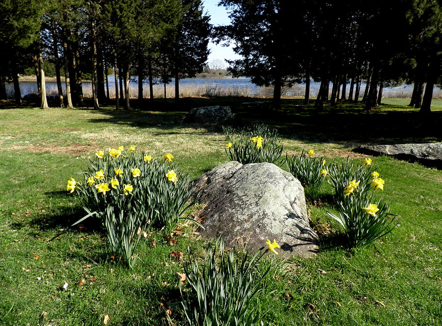 Narragansett Bay Photograph - Daffodils By The Bay by Kate Gallagher