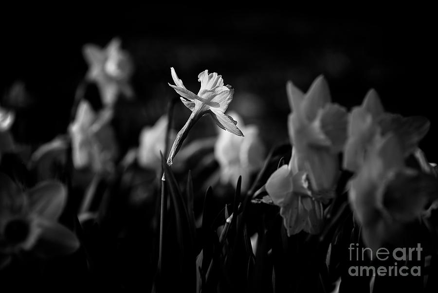 Daffodils In Black And White Photograph