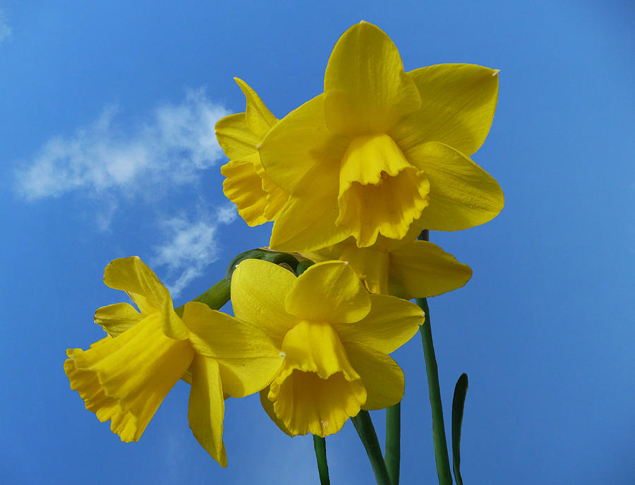 Daffodil Photograph - Daffodils In The Sky by Dale Reynolds