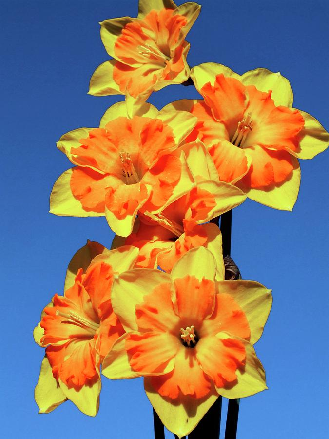 Daffodils Photograph - Daffodils (narcissus gillan) by Ian Gowland/science Photo Library