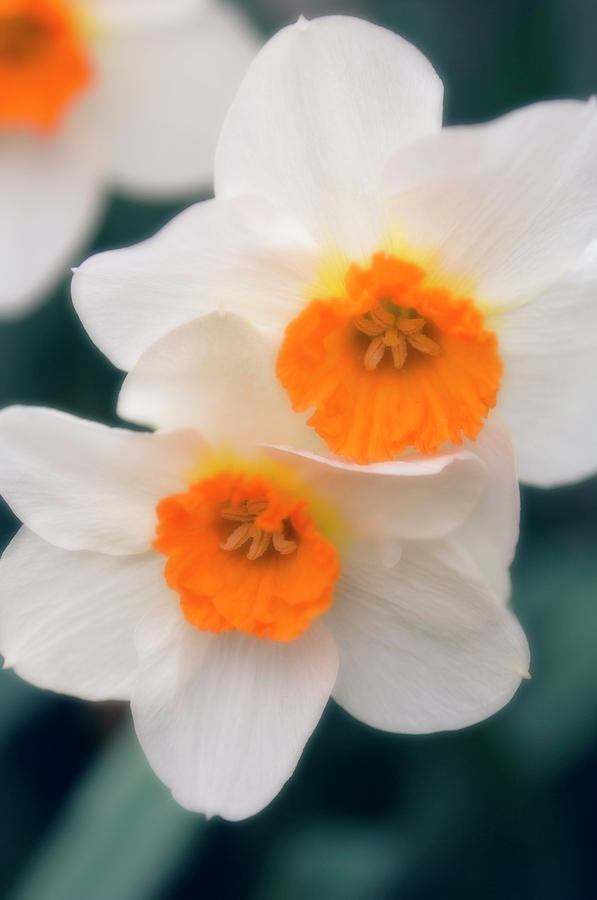 Daffodil Photograph - Daffodils (narcissus Sp.) by Maria Mosolova/science Photo Library