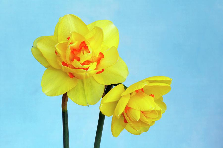 Daffodils Photograph - Daffodils (narcissus tahiti) by Brian Gadsby/science Photo Library