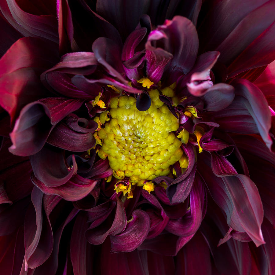 Dahlia - A Study in Crimson by Kim Aston