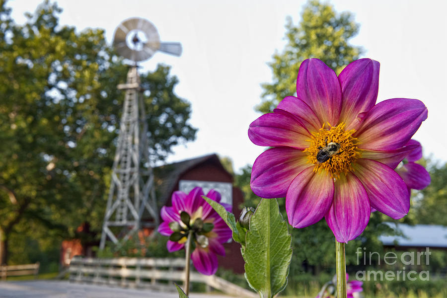 Dahlia Photograph - Dahlia Bee And Windmill by David Arment