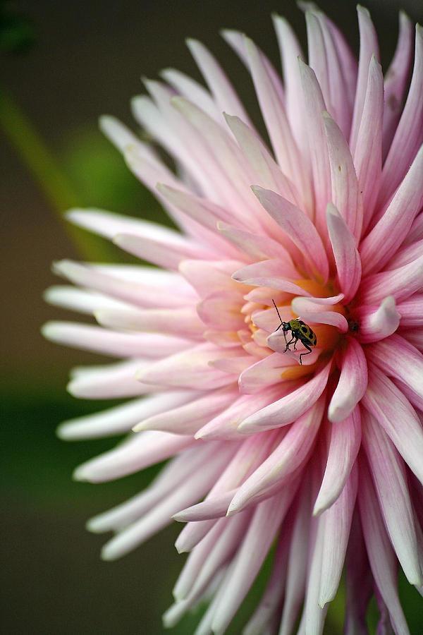 Garden Photograph - Dahlia Bug by Chris Anderson