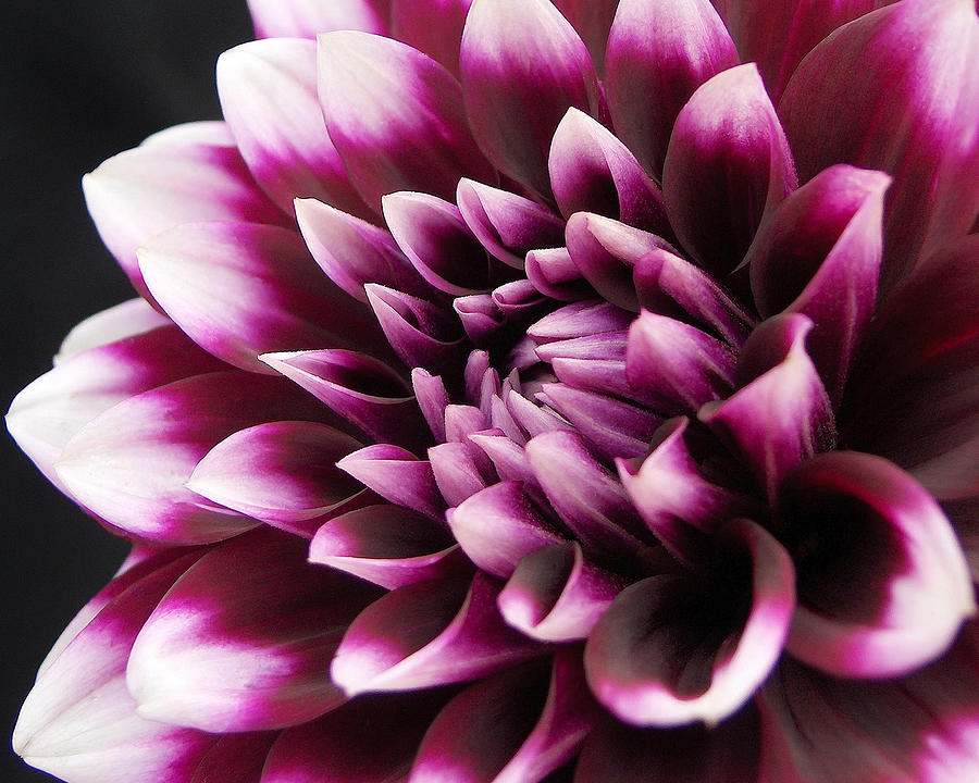 Dahlias Photograph - Dahlia Delightful by Kathi Mirto