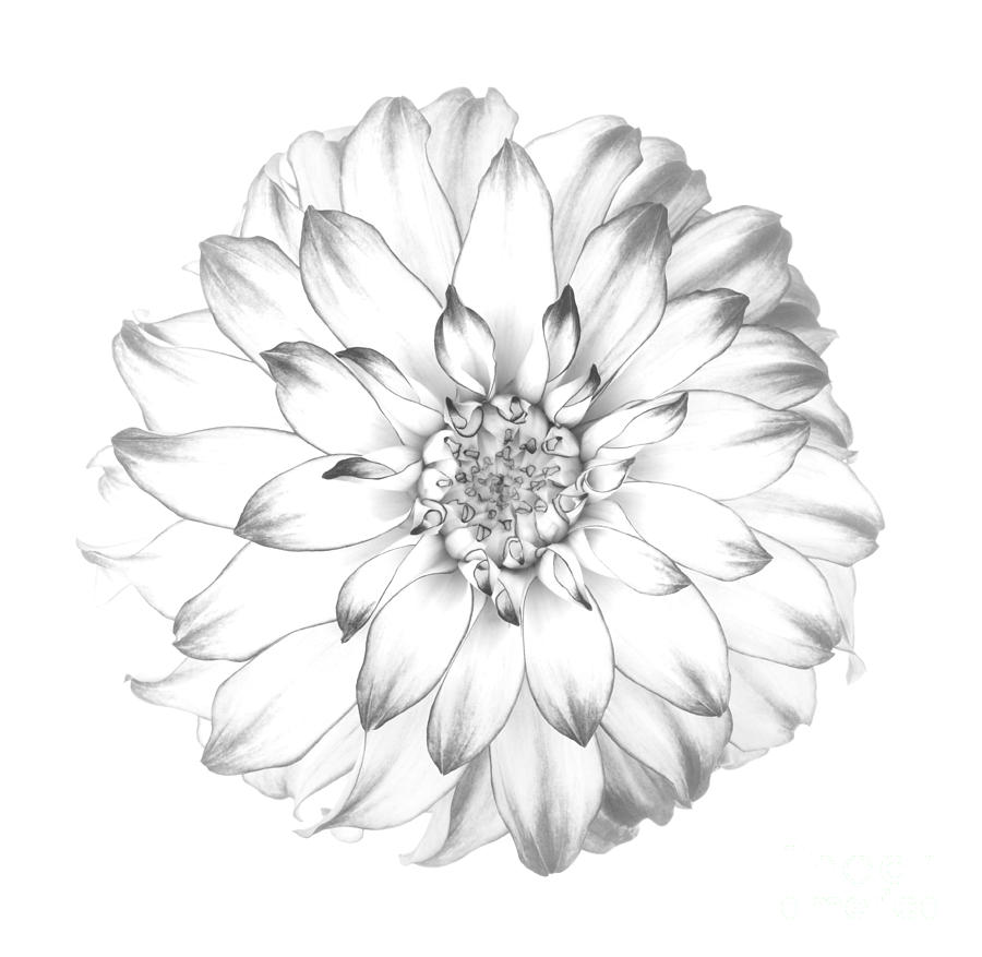 Dahlia flower as drawing in black and white photograph by rosemary calvert