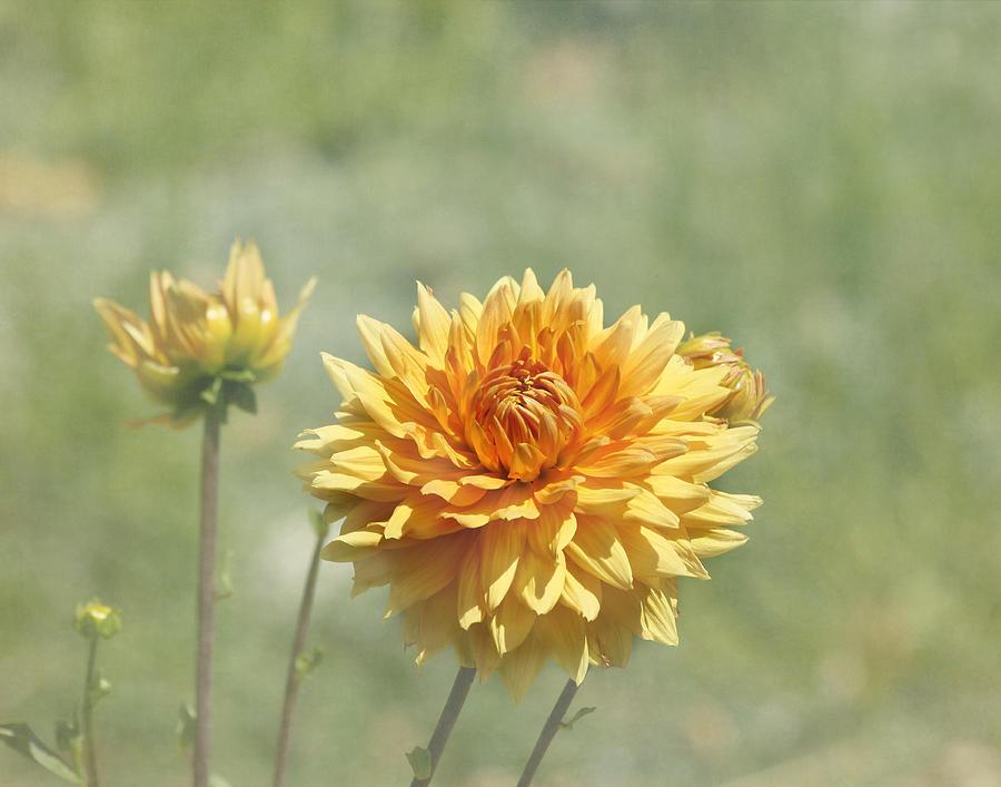 Orange Flower Photograph - Dahlia Flowers by Kim Hojnacki