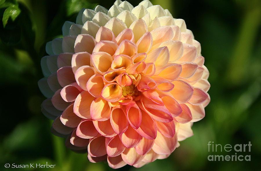 Flower Photograph - Dahlia Hue by Susan Herber
