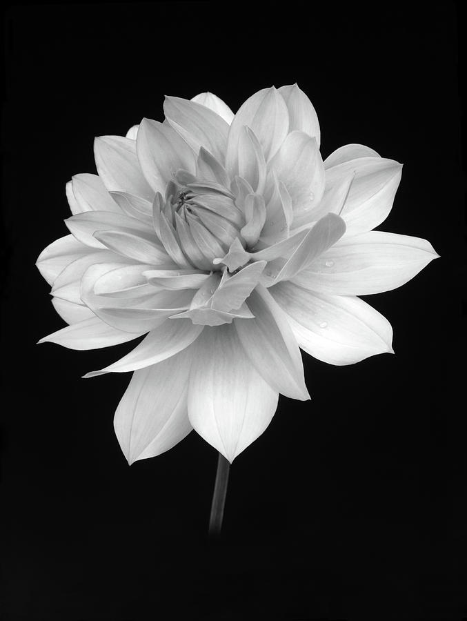 Dahlia In Gentle Shades Of Grey Photograph by Rosemary Calvert