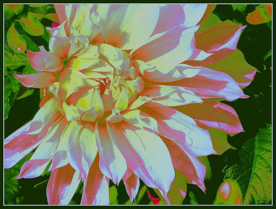 Dahlia In Pink And White Photograph by Dora Sofia Caputo Photographic Design and Fine Art