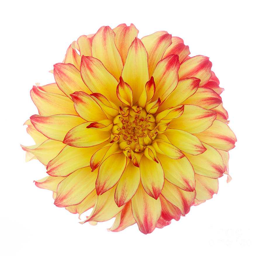 Dahlia \'lady Darlene\' On White Background Photograph by Rosemary Calvert