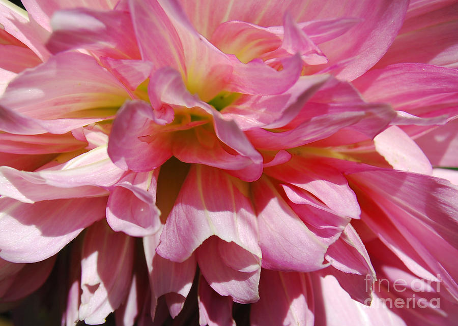 Dahlia Pink by Victoria Page