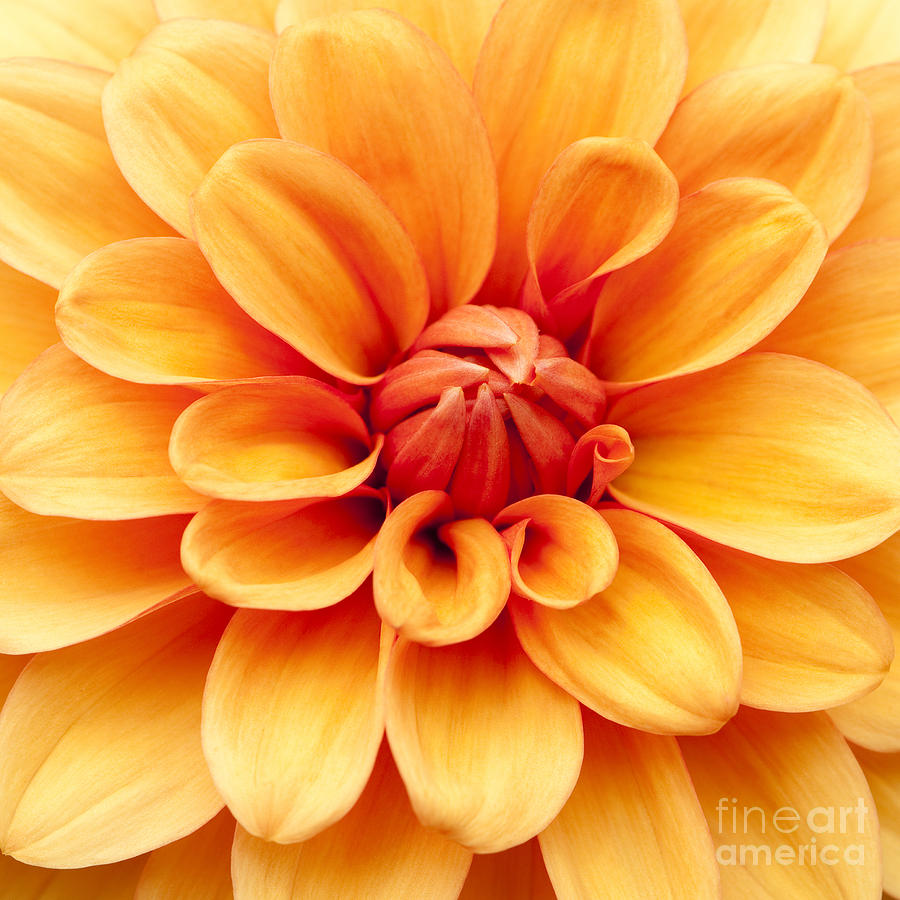 Dahlia Photograph - Dahlia Squared by Anne Gilbert