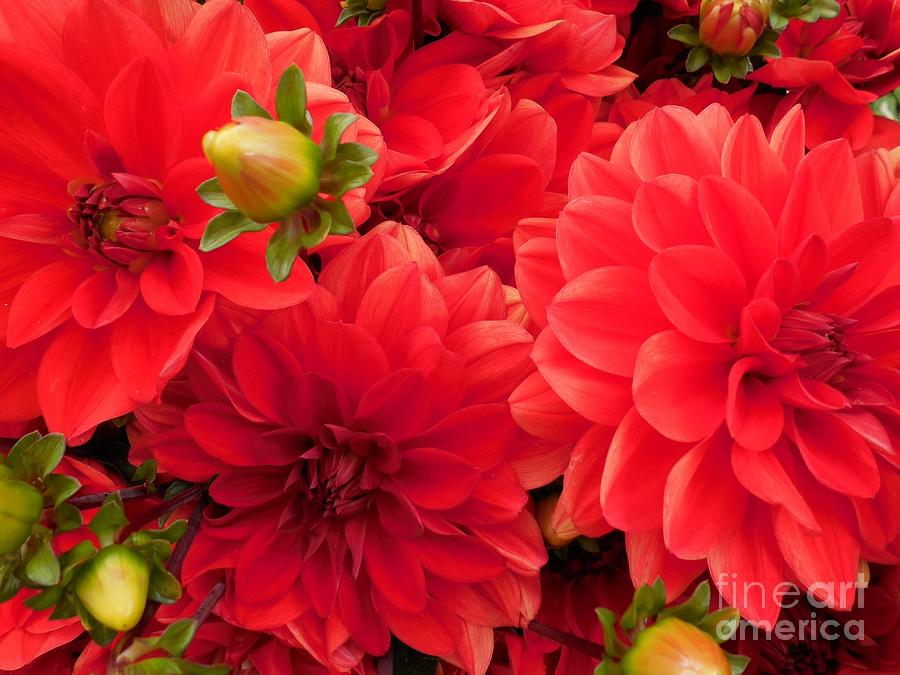 Fall Photograph - Red Dahlias  by Teresa A Lang