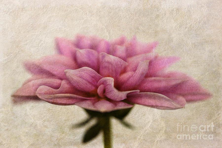 Flower Photograph - Dahlietta Amy Textured by John Edwards