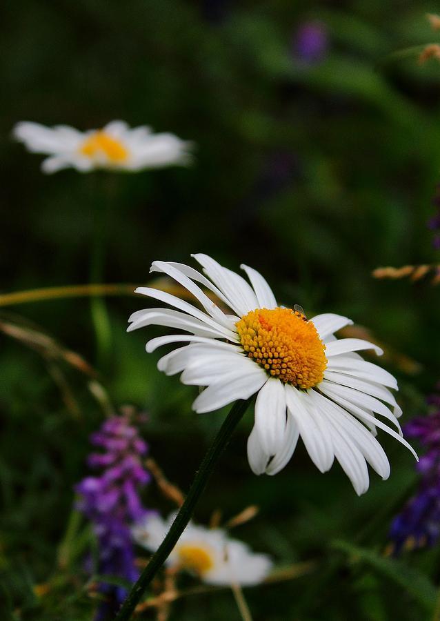 Daisy Photograph - Dainty Daisy by Theresa Selley
